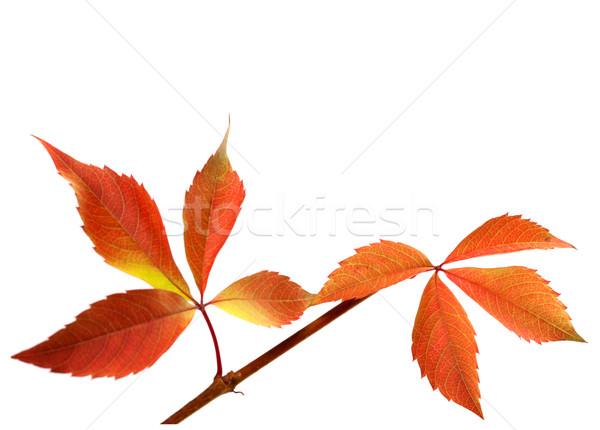 Naranja ramita uvas hojas follaje Foto stock © BSANI