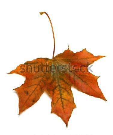 осень Maple Leaf изолированный белый лес дизайна Сток-фото © BSANI