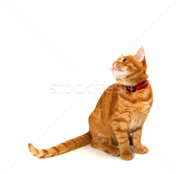 Piros kiscica ül felfelé néz izolált fehér Stock fotó © BSANI