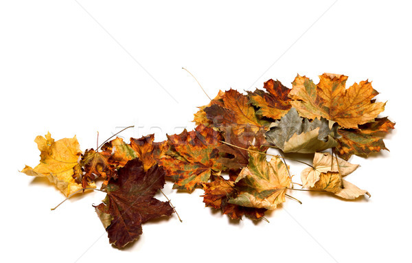 Autumn dry multicolor maple leafs Stock photo © BSANI