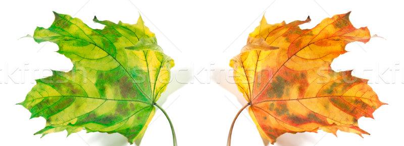 Yellowed autumn maple-leafs  Stock photo © BSANI