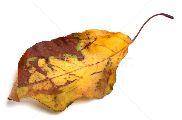 Dried yellowed autumn leaf Stock photo © BSANI