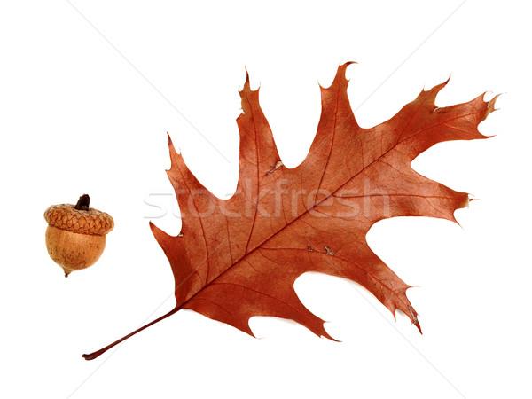 Jesienią suszy liści dąb żołądź odizolowany Zdjęcia stock © BSANI