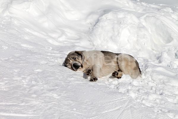 Dog sleeping on snow Stock photo © BSANI