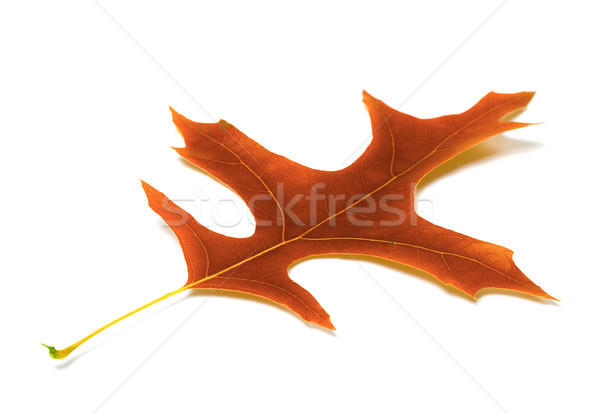 Autumn leaf of oak Stock photo © BSANI