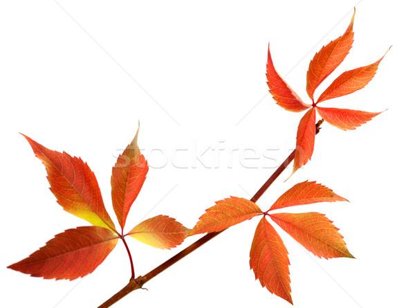 Oranje takje druiven bladeren loof Stockfoto © BSANI
