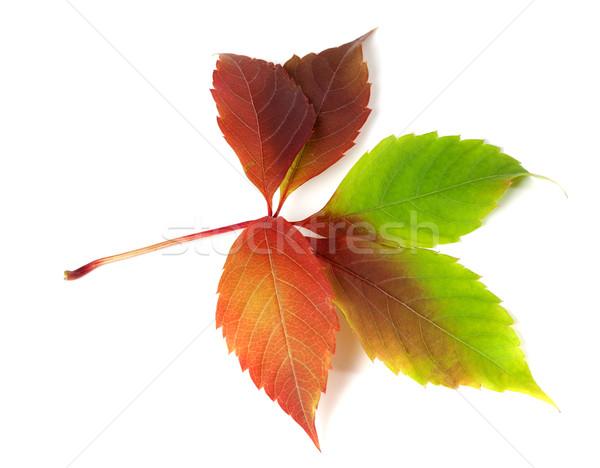 Виргиния лист листва изолированный белый Сток-фото © BSANI