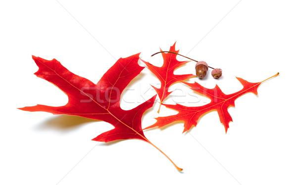 Red oak leaves and acorns Stock photo © BSANI