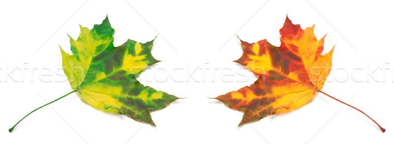Green and orange yellowed maple-leafs. Stock photo © BSANI