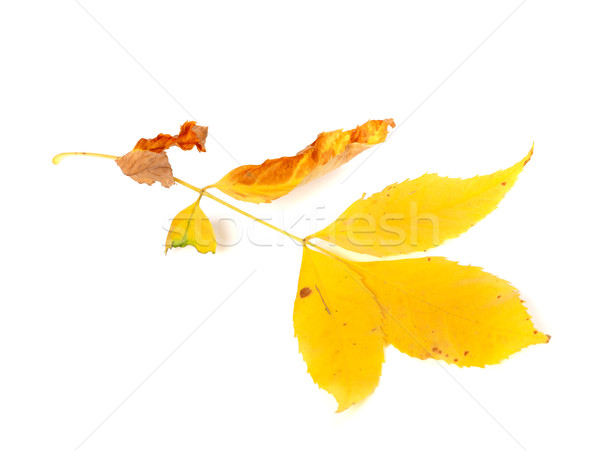 Dry yellow ash-tree leaves Stock photo © BSANI