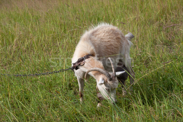 Goat grazing on meadow  Stock photo © BSANI