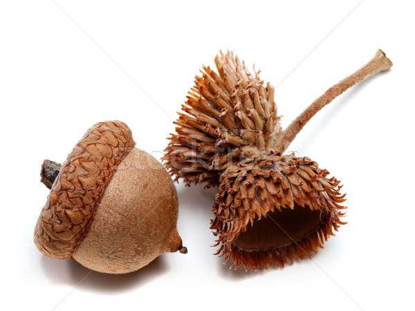 Acorns isolated on white background Stock photo © BSANI