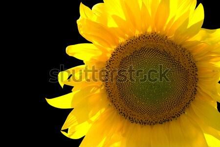 Closeup of yellow sunflower  Stock photo © BSANI