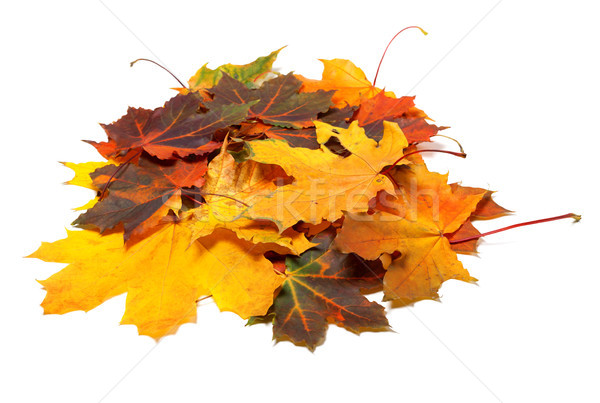 Pile of autumn multi colored maple leaves Stock photo © BSANI