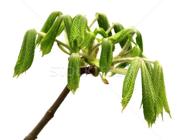 Primavera cavalo castanha árvore jovem folhas verdes Foto stock © BSANI