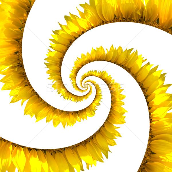 Sunflower spiral Stock photo © BSANI
