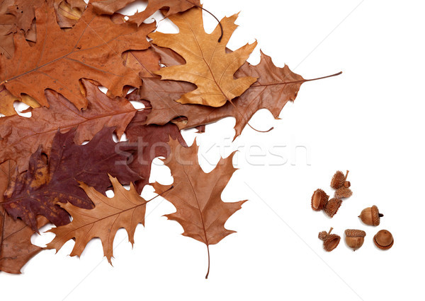 秋 オーク 孤立した 白 自然 ストックフォト © BSANI