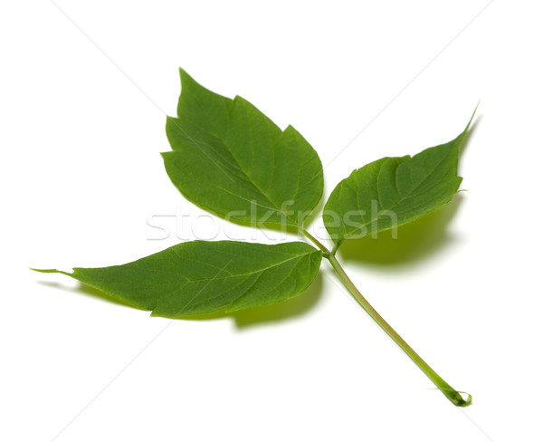 Spring maple ash (acer negundo) leaf Stock photo © BSANI