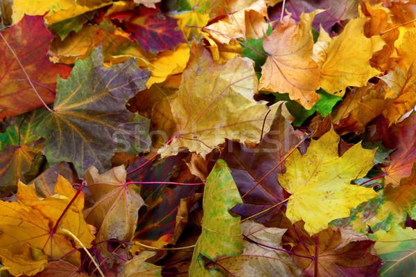 Autumn dry maple leafs Stock photo © BSANI