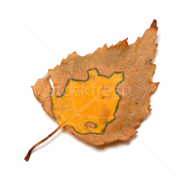 Autumn birch leaf Stock photo © BSANI