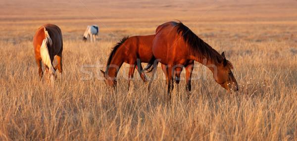 Stock photo: Horses grazing in pasture