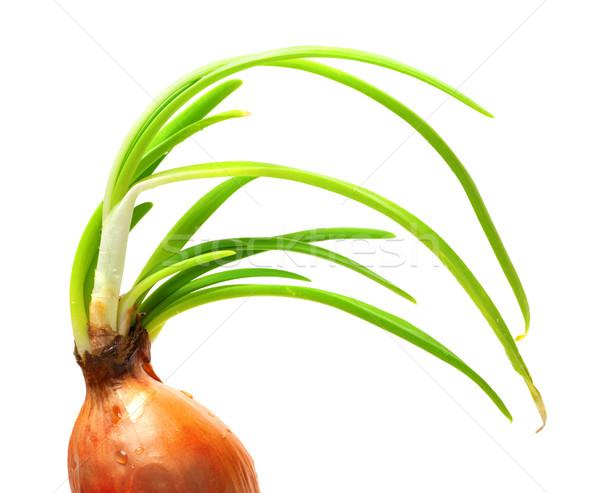 Stock photo: Sprouting onion (Allium cepa)