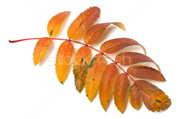 Autumnal rowan leaf Stock photo © BSANI