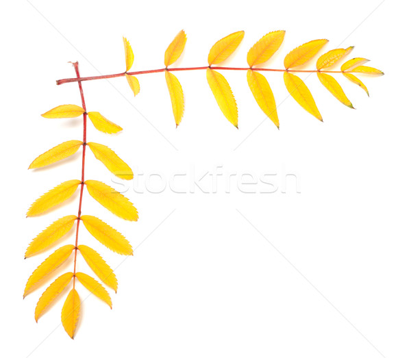 Yellow autumn rowan leaves Stock photo © BSANI