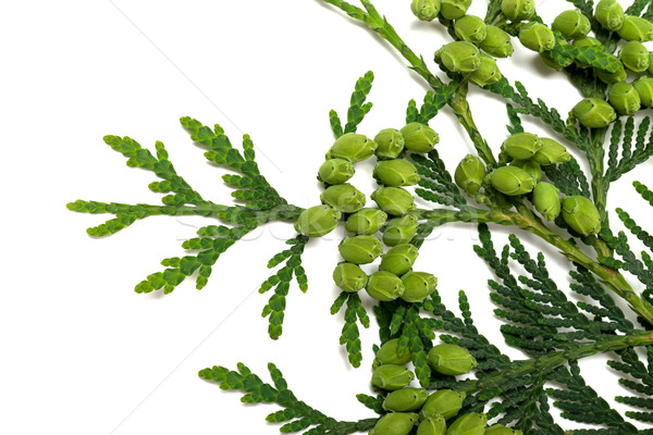 Twig of thuja with green cones on white background Stock photo © BSANI