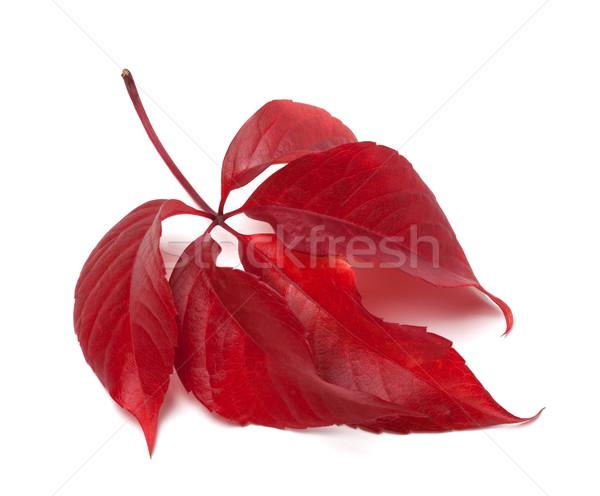 Red autumn virginia creeper leaves Stock photo © BSANI