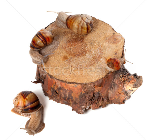 Snails on pine-tree stump. Top view. Stock photo © BSANI