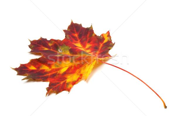 осень Maple Leaf изолированный белый лес природы Сток-фото © BSANI
