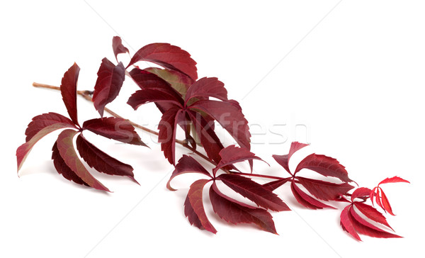 Branch of dark red autumn grapes leaves Stock photo © BSANI
