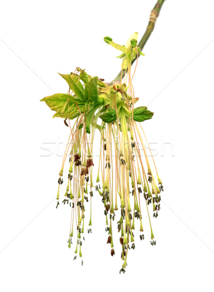 Stock photo: Flowering spring twigs of maple ash (acer negundo) with young le