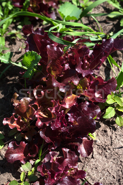 Red salad lettuce growing in garden Stock photo © BSANI