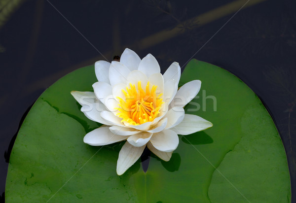 Victoria amazonica, water lily on pond Stock photo © BSANI