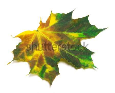 Yellowed maple leaf on white background Stock photo © BSANI