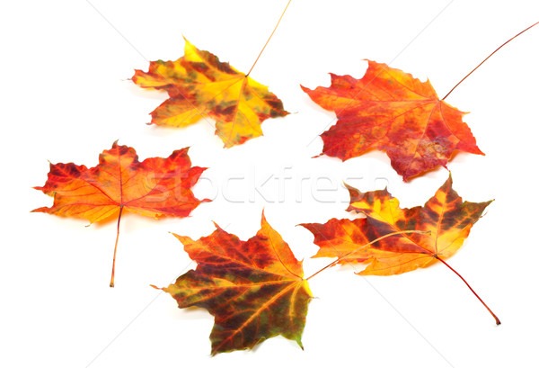 Multicolor autumn maple-leafs on white background Stock photo © BSANI