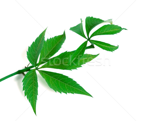 Green twig of grapes leaves (Parthenocissus quinquefolia foliage Stock photo © BSANI