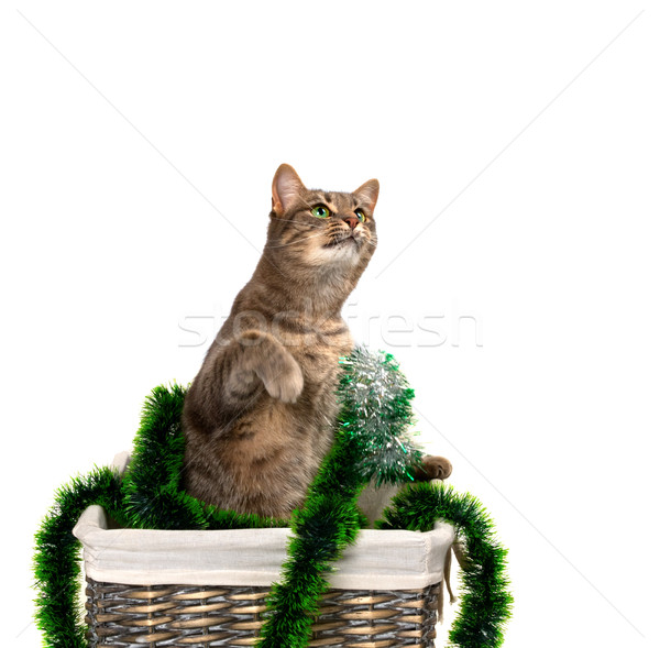 Gray cat with green eyes sitting on its hind legs in wicker bask Stock photo © BSANI