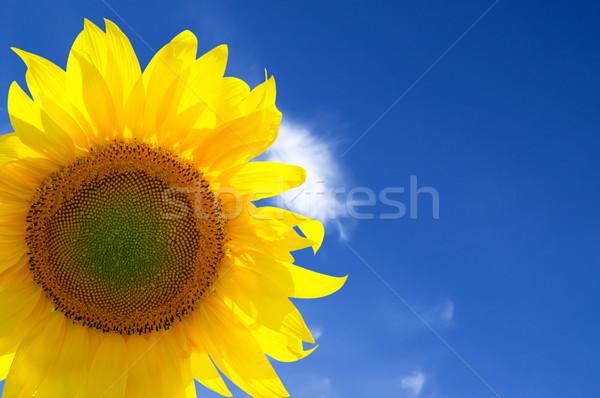 желтый подсолнечника Blue Sky небе цветок Сток-фото © BSANI