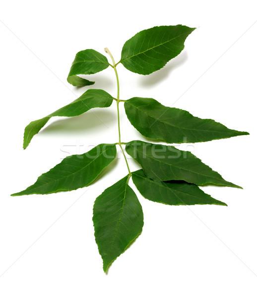 Spring ash-tree leaves Stock photo © BSANI