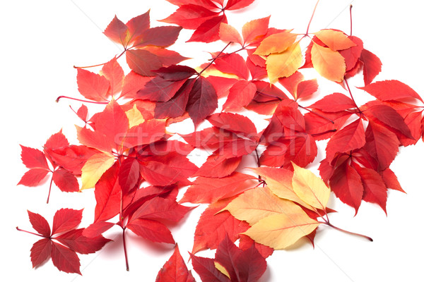 Scattered autumn leaves on white background Stock photo © BSANI