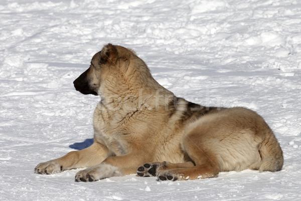 Stock photo: Dog resting on snowy ski slope at nice sun day