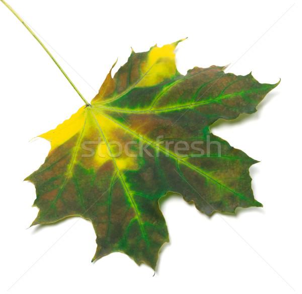 Akçaağaç yaprağı yalıtılmış beyaz orman doğa dizayn Stok fotoğraf © BSANI