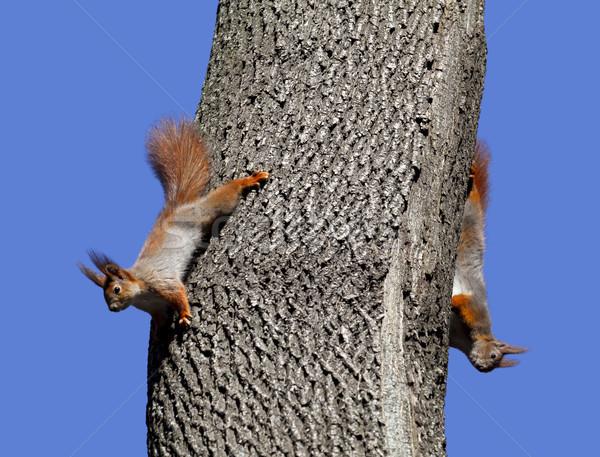 Deux rouge écureuils jouer arbre isolé Photo stock © BSANI