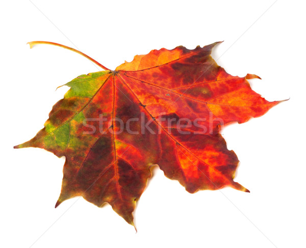 Multicolor autumn maple leaf on white background Stock photo © BSANI