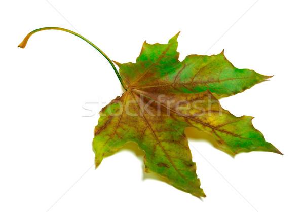 Dried multicolor maple-leaf Stock photo © BSANI