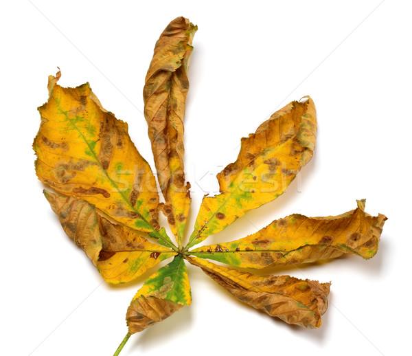 秋 栗 葉 孤立した 白 ストックフォト © BSANI