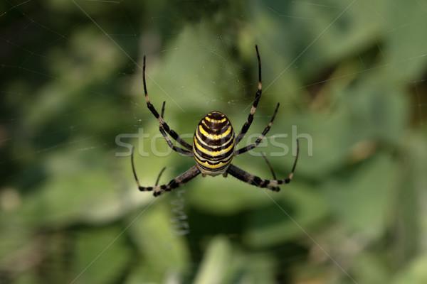 Pók pókháló darázs háló zöld lábak Stock fotó © BSANI